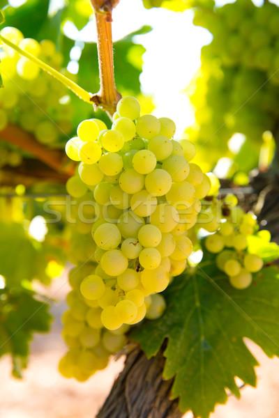 chardonnay Wine grapes in vineyard raw ready for harvest Stock photo © lunamarina
