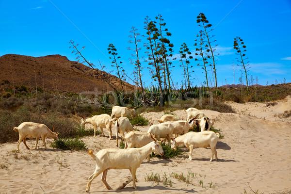 Almeria Goats in Cabo de Gata Stock photo © lunamarina