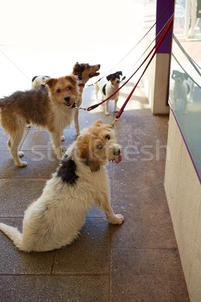 four dogs ar street waiting to walk Stock photo © lunamarina