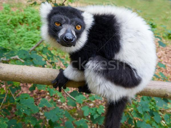 Madagascar portrait drôle de visage forêt nature parc Photo stock © lunamarina