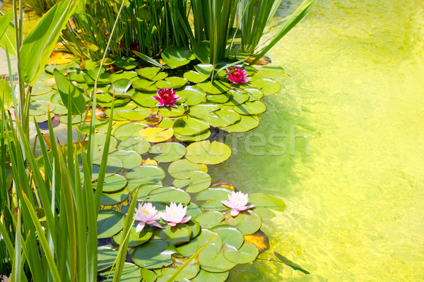 Nenufar Water Lilies on green water pond Stock photo © lunamarina