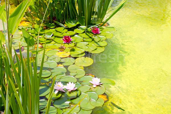 воды зеленый пруд чистой воды цветок Сток-фото © lunamarina