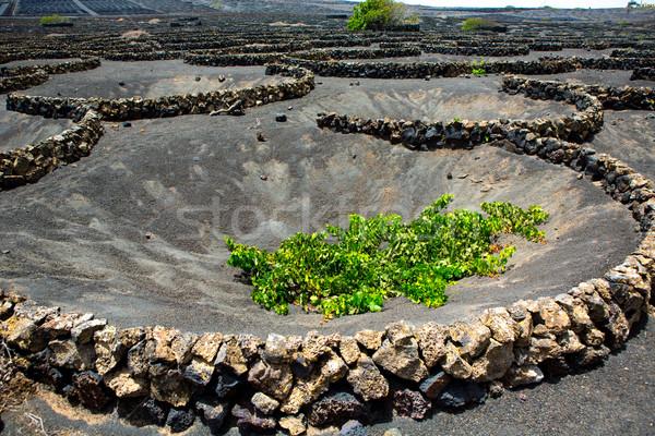 La wijngaard zwarte vulkanisch bodem Stockfoto © lunamarina