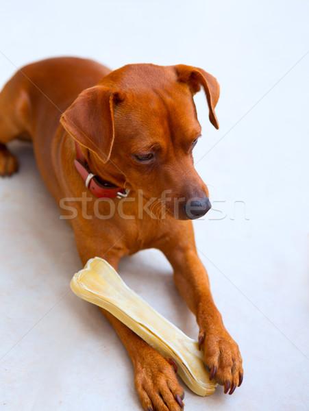 Klein hond bot selectieve aandacht huis Stockfoto © lunamarina