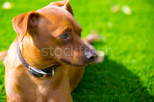 Mini pinscher brown dog portrait laying in lawn Stock photo © lunamarina