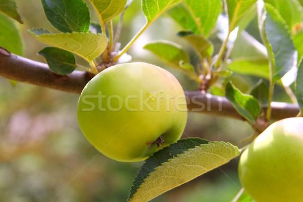 Alma zöld gyümölcsfa ág levelek levél Stock fotó © lunamarina