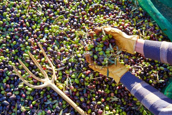 Olive raccolto mani mediterraneo guanti Foto d'archivio © lunamarina