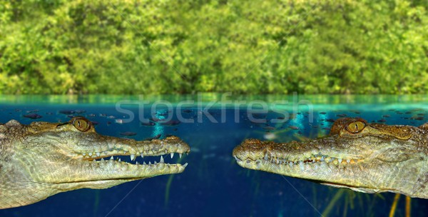 Two crocodile face each other in mangrove swamp Stock photo © lunamarina