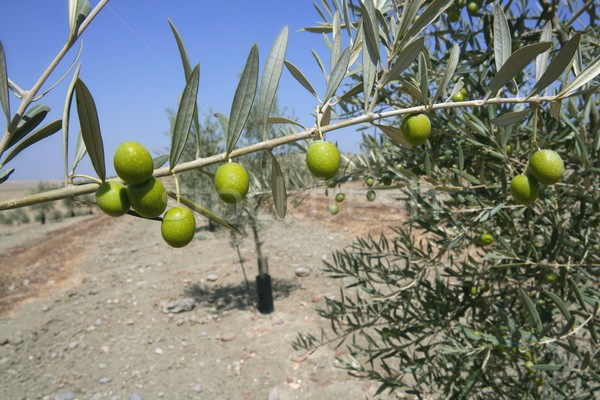Country olive young trees hill field Stock photo © lunamarina