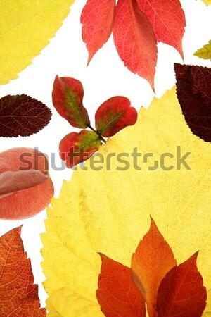 Stock fotó: ősz · ősz · levelek · dekoratív · stúdió · fehér
