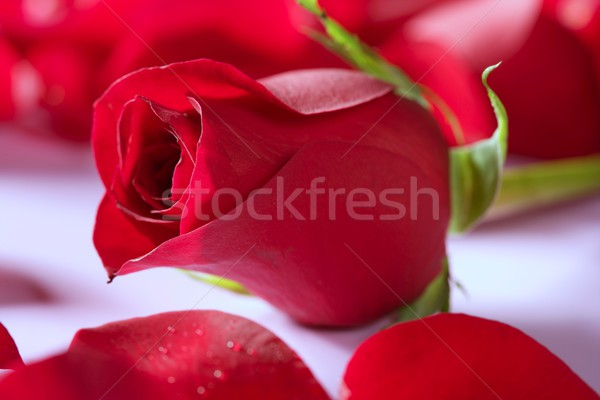 Beautiful rose flower over red petals Stock photo © lunamarina