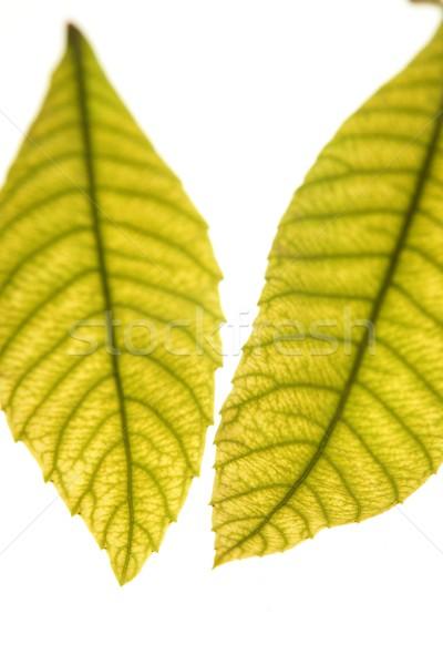 Hojas verdes vibrante verde blanco estudio árbol Foto stock © lunamarina