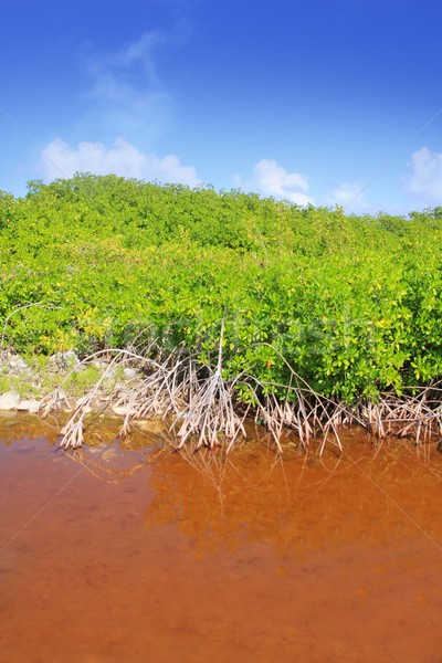 Mangrove plant red water and aerial roots blue sky Stock photo © lunamarina