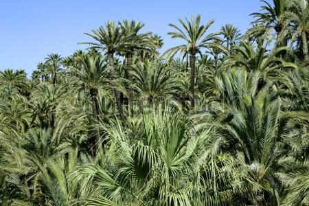 Elche Elx Alicante el Palmeral with many palm trees Stock photo © lunamarina