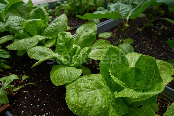 Urban homestead with lettuces Stock photo © lunamarina