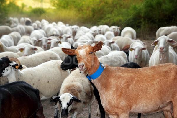 ヤギ 羊 群れ 群れ 屋外 トラック ストックフォト © lunamarina