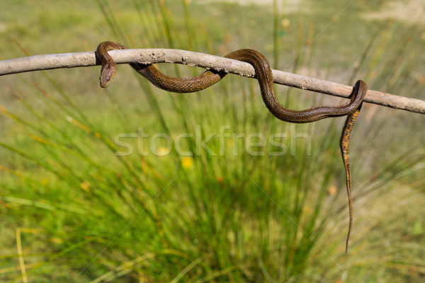 River snake on wooden stick with blurred background Stock photo © lunamarina