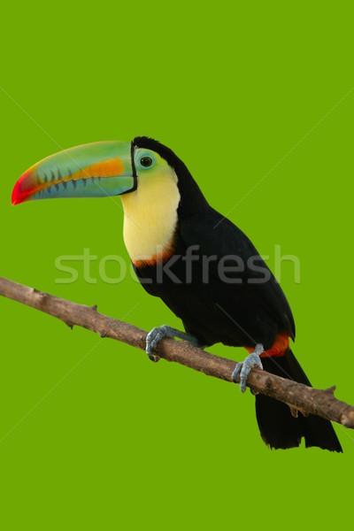 Toucan bird colorful in green background  Stock photo © lunamarina