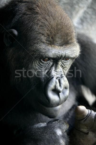 Gorilla emberszabású majom közelkép portré emberi Stock fotó © lunamarina