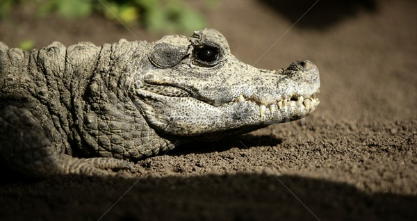 Midget crocodrile from Africa, Aligators. Stock photo © lunamarina