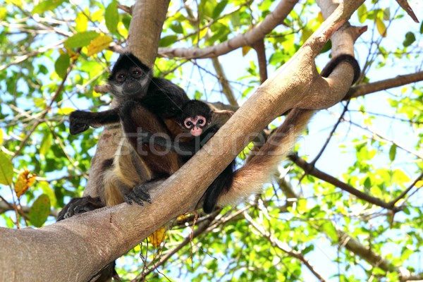 Ateles geoffroyi  Spider Monkey Central America Stock photo © lunamarina