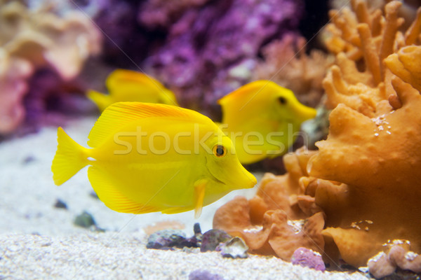 yellow tang fish Zebrasoma flavesenes Stock photo © lunamarina