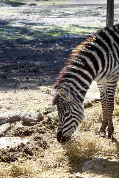 Stok fotoğraf: Zebra · yeme · profil · boyun · kafa · yan