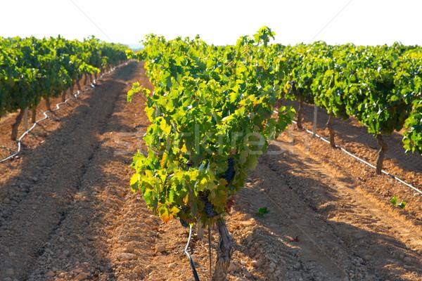mediterranean Bobal grapes in vineyard Stock photo © lunamarina