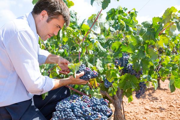 Bobal harvesting with harvester farmer winemaker Stock photo © lunamarina
