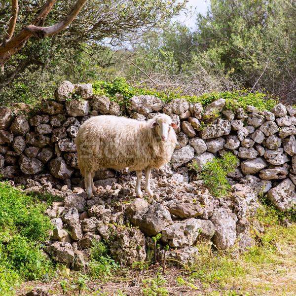 lamb sheep in mediterranean landscape at Menorca Stock photo © lunamarina