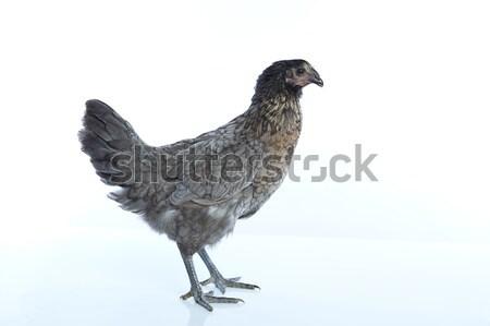 Stockfoto: Delaware · groot · Blauw · kip · donkere · kleur