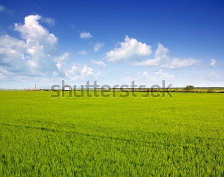 Valencia pirinç alanları yeşil çayır bahar Stok fotoğraf © lunamarina