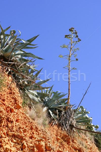 Agavé növény mediterrán hegy szabadtér textúra Stock fotó © lunamarina