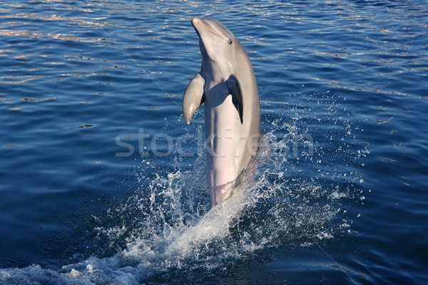 Dolphin acrobacy during dolphins show in Caribbean sea, nature Stock photo © lunamarina