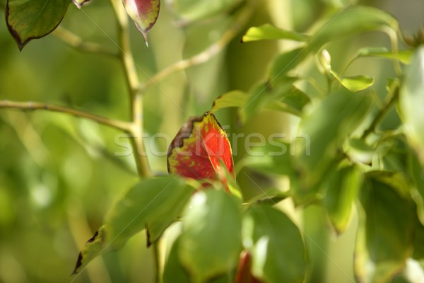 Red leaf between hundreds of green leaves Stock photo © lunamarina