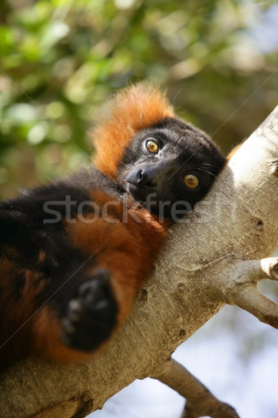 Brown lemur lied on a branch Stock photo © lunamarina
