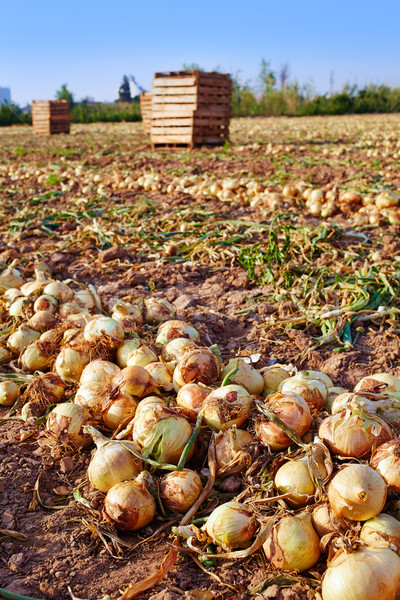 Oignon récolte Valence Espagne nature ferme Photo stock © lunamarina