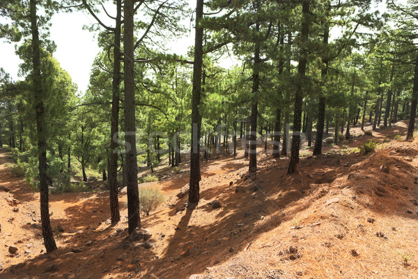 La Palma canary Pine forest Stock photo © lunamarina