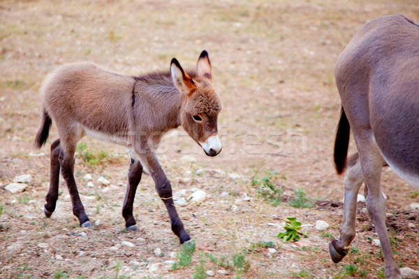 Baby donkey mule with mother Stock photo © lunamarina