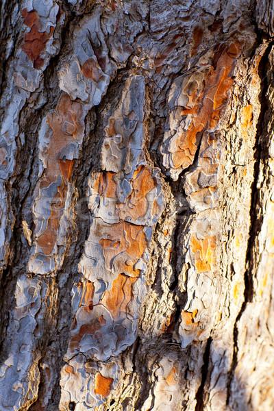 Сток-фото: Кора · сосна · текстуры · дерево · природы · лет
