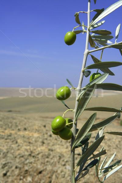 Piękna zielone oliwy dziedzinie makro Błękitne niebo Zdjęcia stock © lunamarina