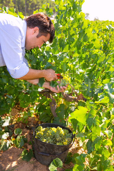 chardonnay harvesting with wine grapes harvest Stock photo © lunamarina