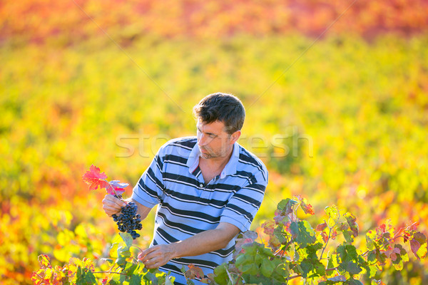 Farmer man in vineyard harvest autumn leaves in mediterranean Stock photo © lunamarina