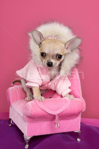 Stock photo: fashion chihuahua dog barbie style pink armchair