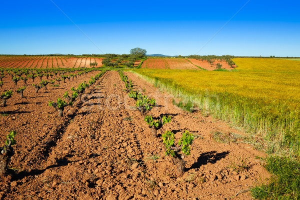vineyard fields in Extremadura of Spain Stock photo © lunamarina