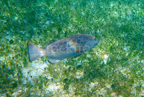 Grouper fish in Riviera Maya at Caribbean Stock photo © lunamarina