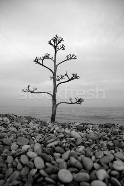 Agavé fa kő tengerpart növekvő mediterrán Stock fotó © lunamarina