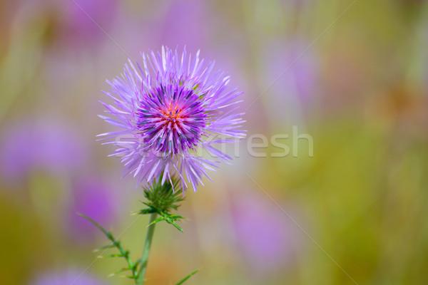 Menorca spring thistle purple flowers Stock photo © lunamarina