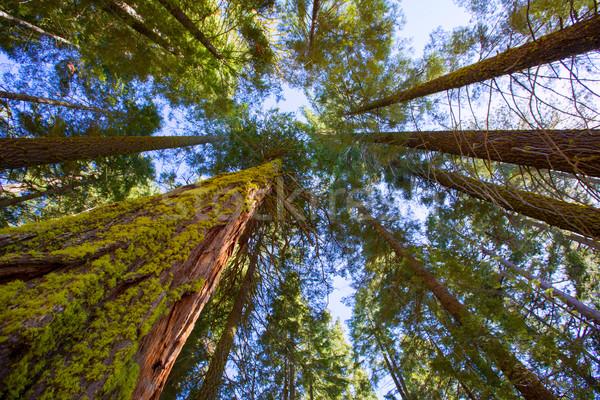 Sequoias in California view from below Stock photo © lunamarina