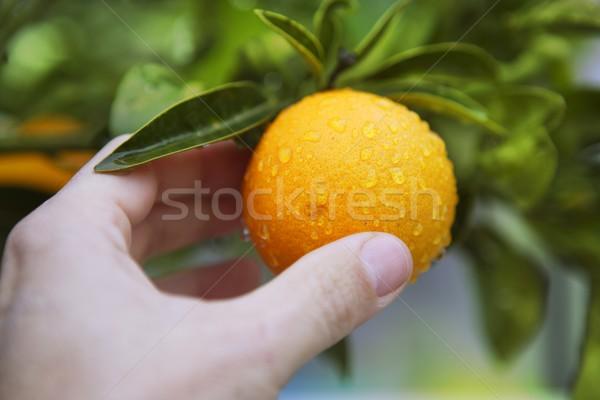 orange on tree human hand holding fruit Stock photo © lunamarina